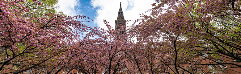 Healy Hall with flowering cherry trees