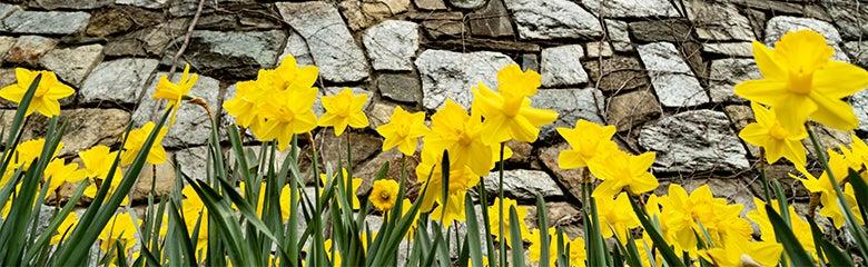Daffodils in bloom against a brick wall